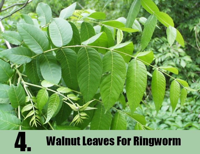 Walnut Leaves For Ringworm