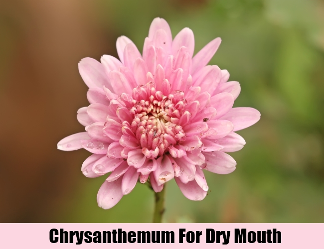 Chrysanthemum For Dry Mouth