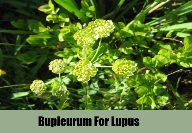 Bupleurum For Lupus